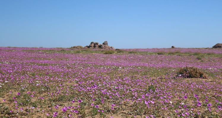 Desierto Florido – Atacama